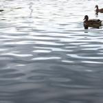 Zwei Enten schwimmen auf der Saale
