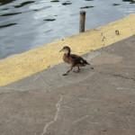 Ente läuft am Saaleufer entlang